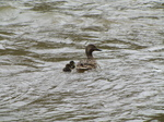 SX22018 Duck and two ducklings.jpg